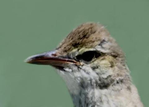 オオヨシキリ幼鳥8001