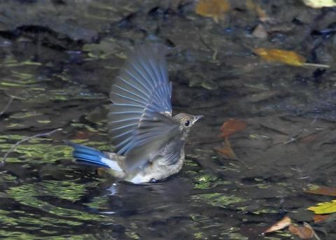 オオルリ♂幼鳥4374