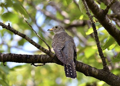 ツツドリ幼鳥6409