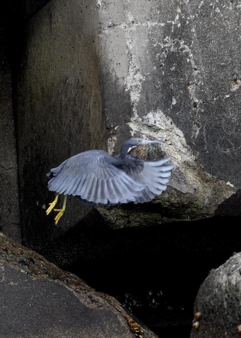 飛ぶ・クロサギ7199