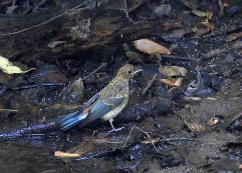オオルリ♂幼鳥4383
