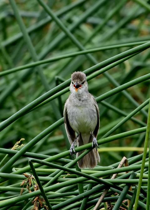 オオヨシキリ幼鳥8583