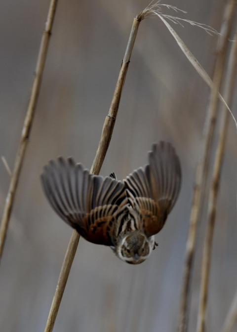 飛ぶオオジュリン♂0707