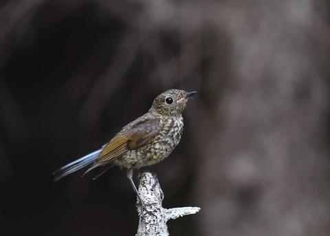 ルリビタキ幼鳥1702