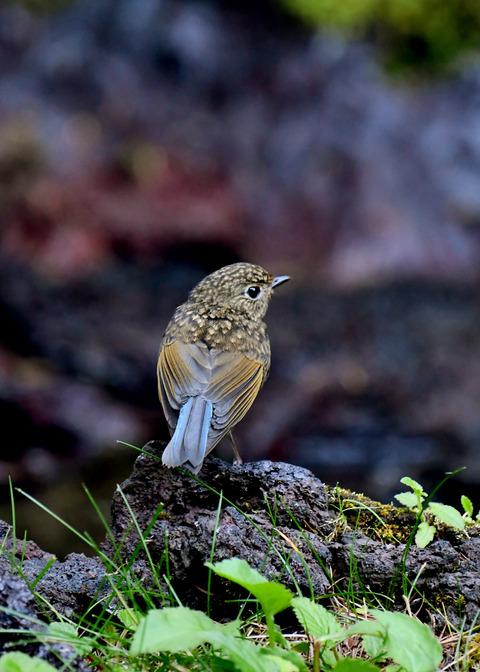 ルリビタキ幼鳥2387