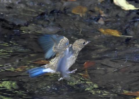 オオルリ♂幼鳥4375
