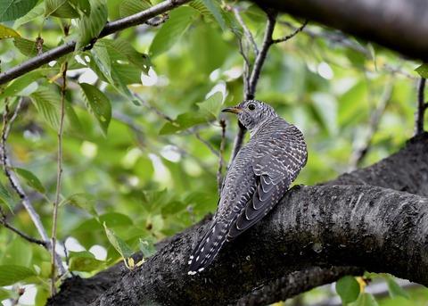 ツツドリ幼鳥6573