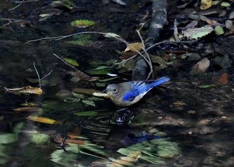 オオルリ幼鳥♂8305
