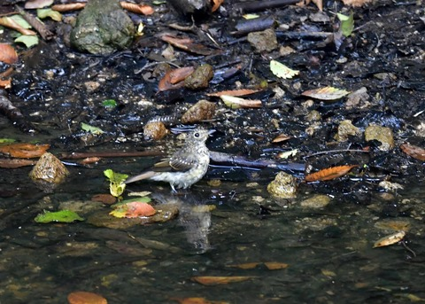 キビタキ幼鳥0781