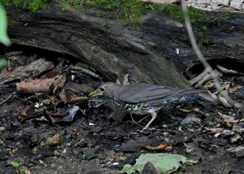 クロツグミ幼鳥6088