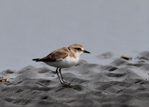 シロチドリ若鳥8390
