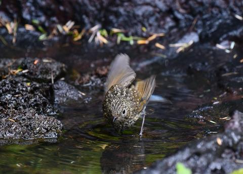 ルリビタキ幼鳥3055