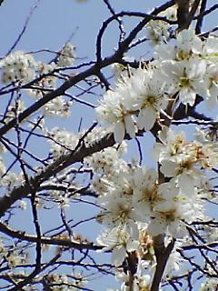 2006桜