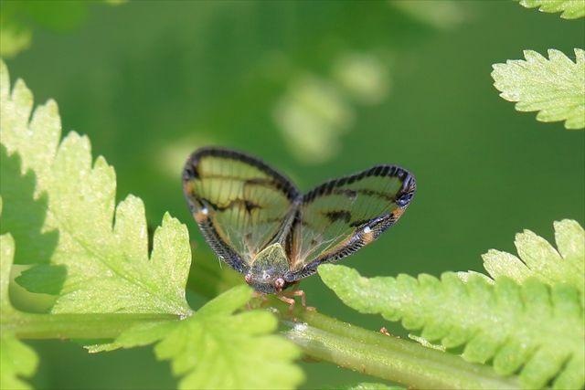 スケバハゴロモの成虫