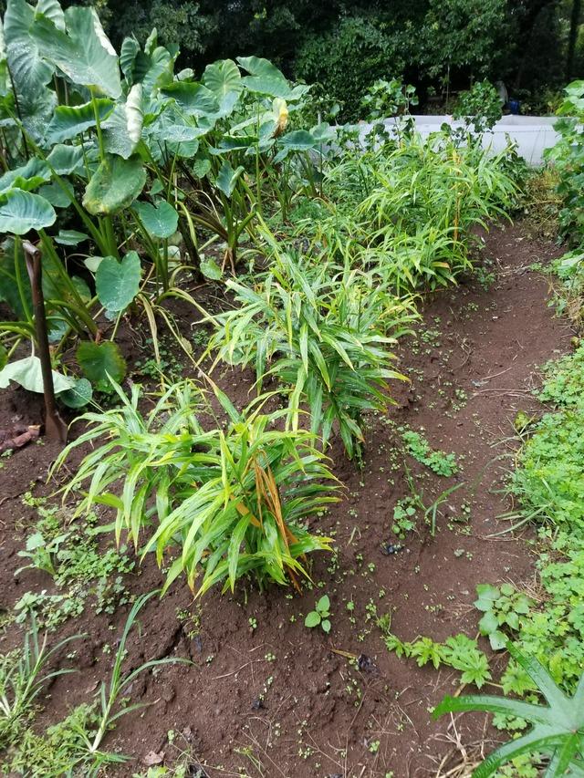 時期 生姜 収穫
