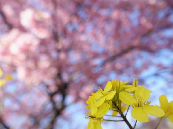 河津桜~山の手桜2020 (6)