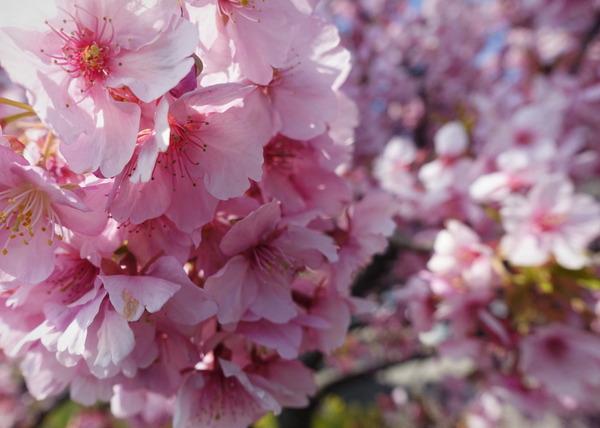 河津桜~山の手桜2020 (2)