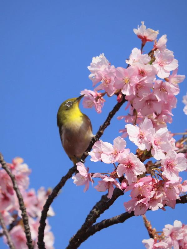 河津桜~山の手桜2020 (11)