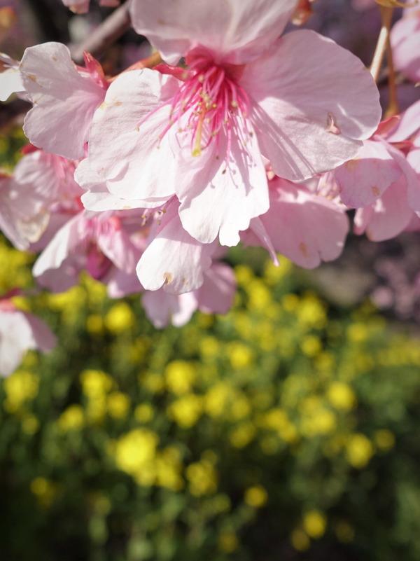 河津桜~山の手桜2020 (8)