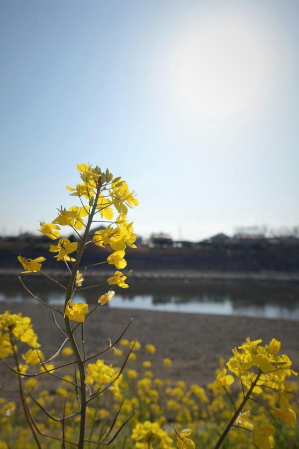 河津桜~山の手桜2020 (5)