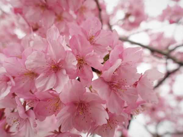 河津桜2020(5)