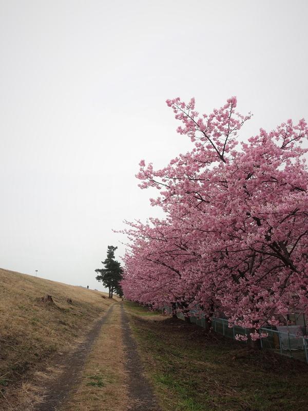 河津桜2020(8)