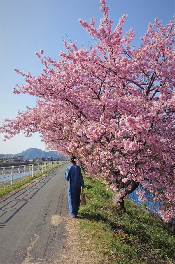 河津桜~山の手桜2020 (1)