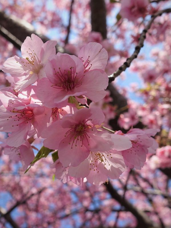 河津桜~山の手桜2020 (14)