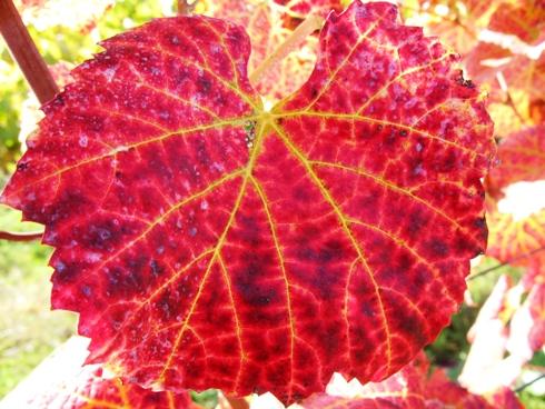 メルローの葉っぱ