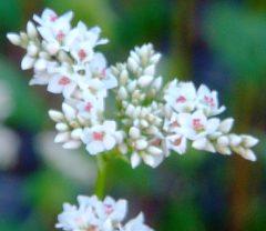 お蕎麦の花