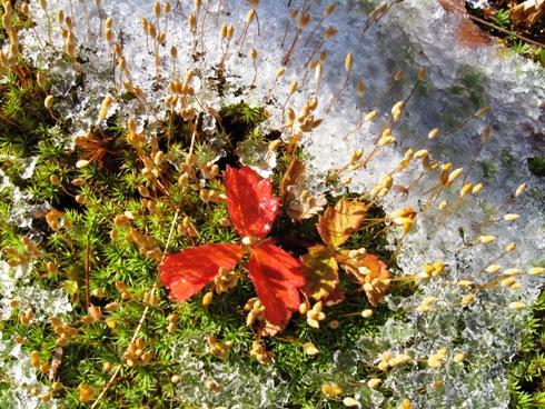 高山植物の紅葉