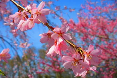 枝垂れ桜の花