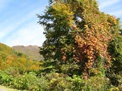 山ぶどうの紅葉