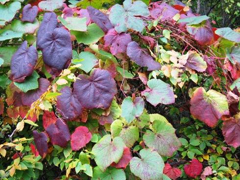 山ブドウの紅葉