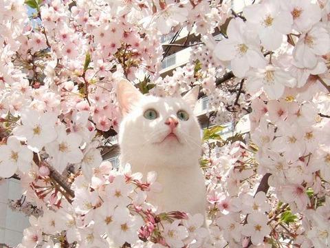 cat_Blossom