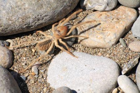 17107776 - camel spider or solfugid
