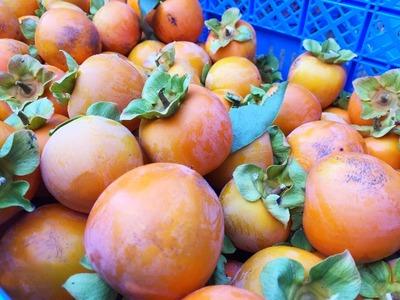 柿の収穫 [写記 vol.906]