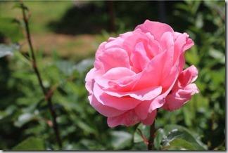 薔薇が咲いた [写記 vol.398]