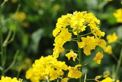 【平石農場】一面の菜の花に感動! [写記 vol.1458]