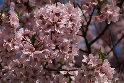【勝間薬師堂の枝垂桜】高遠城址公園もいいけど、ここの桜も立派でした
