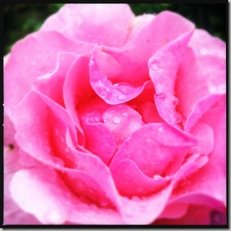 薔薇 [写記 vol.37]