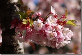 桜を見に、天龍村までドライブ [写記 vol.691]