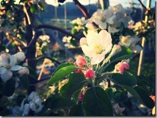 りんごの花 [写記 vol.722]