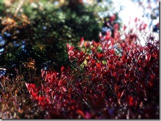 赤い紅葉 [写記 vol.184]