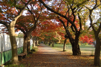 カエデの並木道