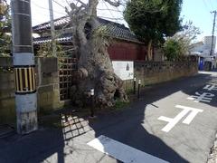 サイカチの木_2