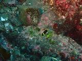キンチャクダイ幼魚