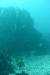 サメ穴のテングダイ