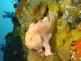 ハタンポ岩脇の根のオオモンカエルアンコウ