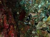 アジアコショウダイの幼魚